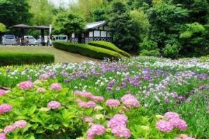 紫陽花菖蒲
